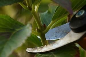 Hortensien Vermehren Wasserglas : hortensien vermehren durch teilung und stecklinge ~ Lizthompson.info Haus und Dekorationen