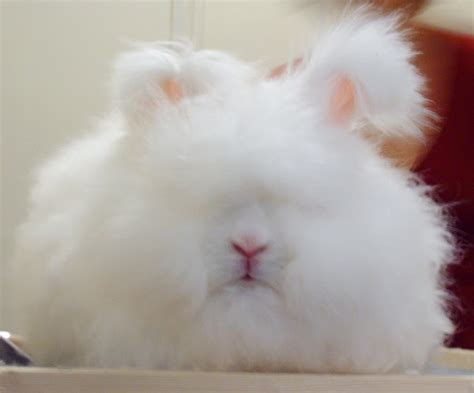 angora rabbit coat and appearance