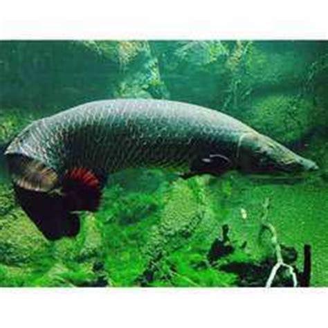 ornamental fish wholesale price  sajawati machhliyan