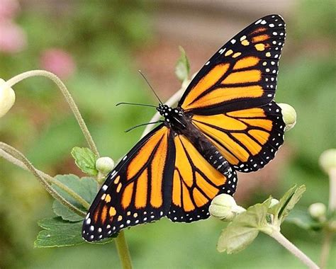 inilah  gambar kupu kupu cantik  rupawan beautiful