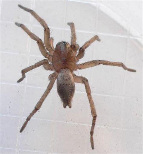 araignee dans la maison drassodes sp une araign 233 e dans la maison le monde des insectes