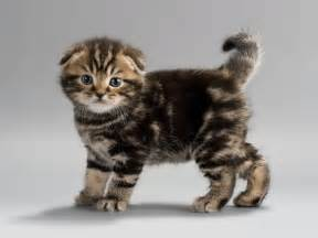 fold cat 10 floppy eared facts about scottish fold cats mental floss