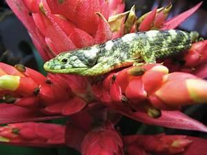Abronia Arboreal Alligator Lizard