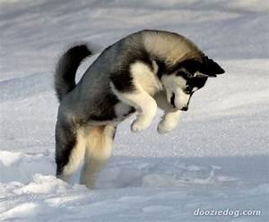 Cute Baby Huskies;husky ;; Wallpaper  Akita Dog   ANIMAL ...