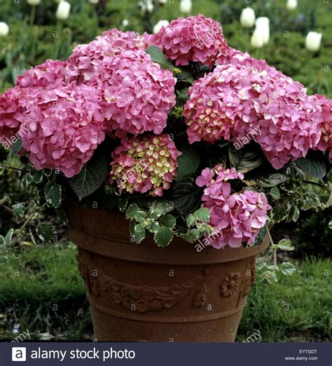 Hortensie, Balkonblumen, Blumen Auf Terrasse, Gartenblumen