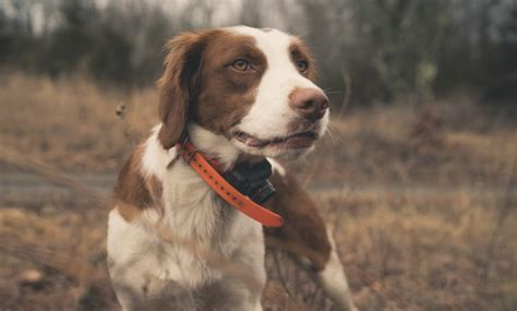 American Brittany - A Project Upland Bird Hunting Dogs Series