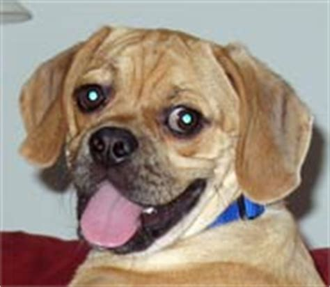 do all puggles shed puggles and puggle puppies for sale