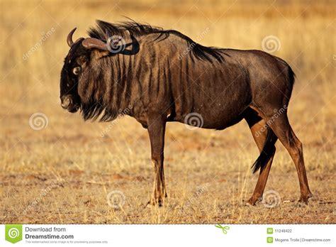 black bearded wildebeest kalahari desert stock