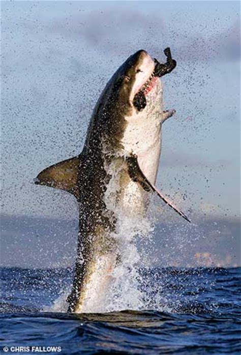 Great White Shark Jumping Out Of Water Wallpaper Alert Diver South Africa Predator S Paradise