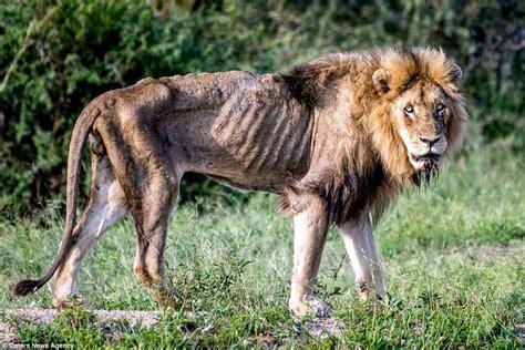 des  dechirantes montrent comment  vieux lion trop