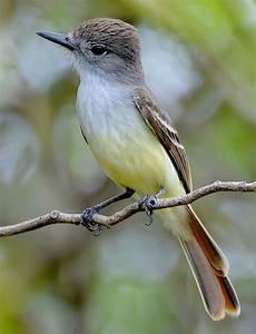 Antigua and Barbuda – Caribbean Birding Trail  Lesser