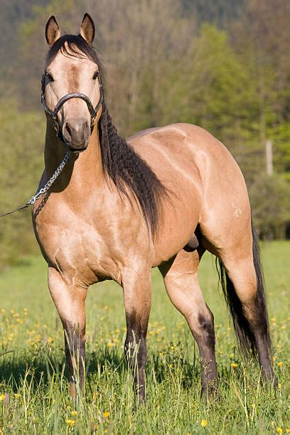 quarter horse american horses stallion posing royalty buckskin pretty racing dreamstime colors paint fastest equestrian grulla illustrations beauty preview