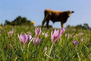 Rasen Düngen Bei Sonne : kostenlose bild kuh feld sonne rasen natur sommer blume pflanze bl te ~ Indierocktalk.com Haus und Dekorationen