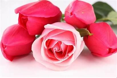 Rose Desktop Roses Wallpapers Pixelstalk
