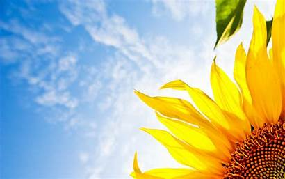 Bright Sunflower Wallpapers Flowers Desktop Nature Sunflowers