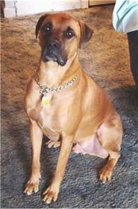 Boxweiler Dog Breed Information and Pictures