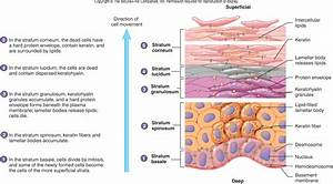 Pictures: Integumentary System Functions, - Anatomy ...