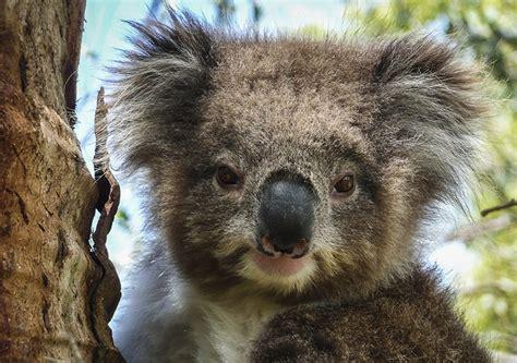 australian scientists crack  genetic code  koalas