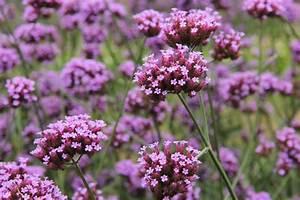 Kübelpflanzen Winterhart Bilder : verbenen pflanzen das wichtigste auf einen blick ~ Markanthonyermac.com Haus und Dekorationen