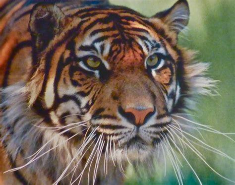 Hugh Miles Wildlife Adventures Tiger Tension
