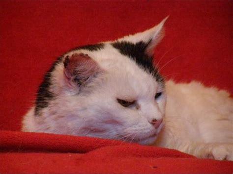 besoin d aide mon chat a une tumeur a l oreille chats forum animaux