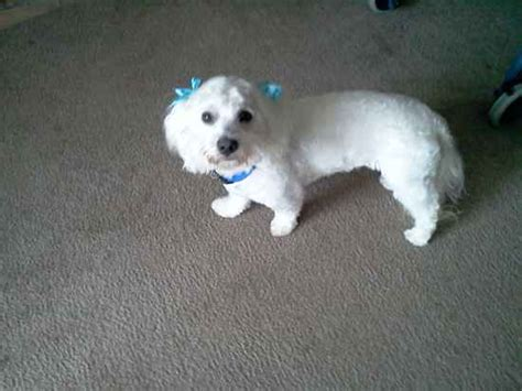does maltipoo shed hair the maltipoo designer photo gallery 12948