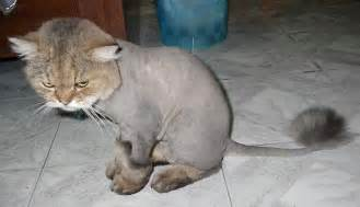 cat haircut bad haircut day for this cat