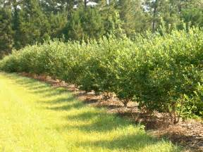 Blueberry Bush Hedge