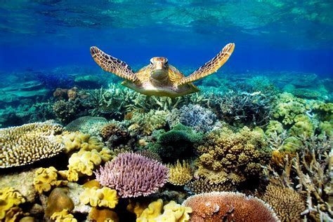 reef barrier turtle coral turtles fish reefs sea australia 2000 animals living tend pre creatures natural underwater there tropical dying