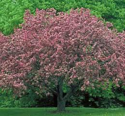 Radiant Flowering Crabapple Tree
