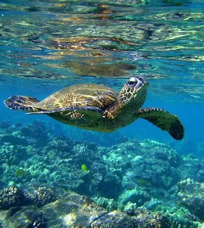 Sea Turtle Desktop Backgrounds Wallpapers Underwater Turtles