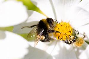 Honeybees vs. Bumblebees vs. Plain Old Bees - What's the ...