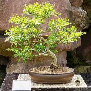 liguster schneiden buchs und liguster im herbst schneiden With whirlpool garten mit bonsai ligustrum