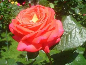 Gelb Rote Rosen Bedeutung : teehybride ~ Whattoseeinmadrid.com Haus und Dekorationen