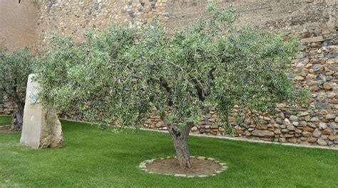 taille d un olivier en pot olivier planter et tailler ooreka