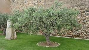 Quel Arbre Planter Près D Une Maison : olivier planter et tailler ooreka ~ Dode.kayakingforconservation.com Idées de Décoration
