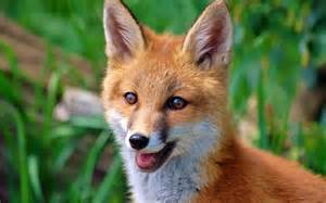 Beautiful Fox Animal