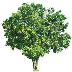 tropical plant pictures barringtonia asiatica sea poison tree