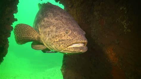 grouper goliath florida shark eats fish line fishing pound eat giant fisherman right fwc long rebound