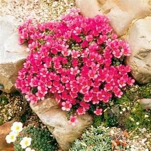 Blumen Für Steingarten : die 25 besten ideen zu steingarten pflanzen auf pinterest schleichenden phlox bodendecker ~ Markanthonyermac.com Haus und Dekorationen