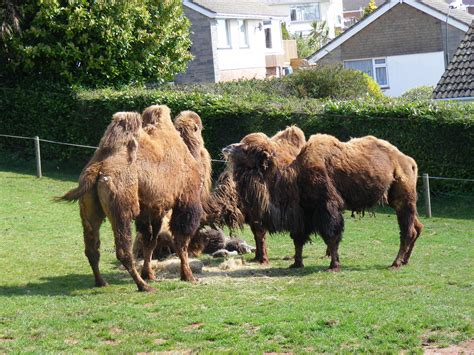 zoo paignton camels bactrian zoos europe 2009 torquay april alux zoochat
