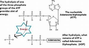 What U0026 39 S The Difference Between Energy Rich Molecule  Atp