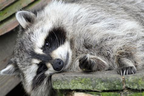 woman takes pet raccoon  fire station  treatment