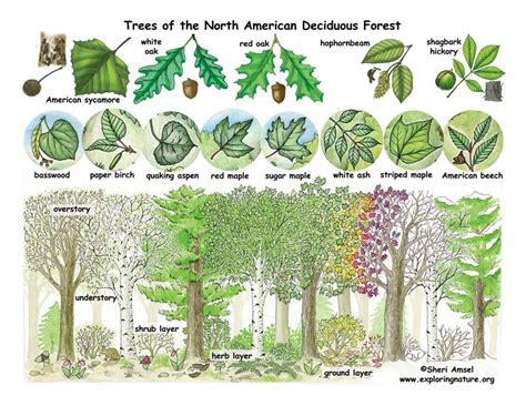 temperate forest plants  names wwwimgarcadecom
