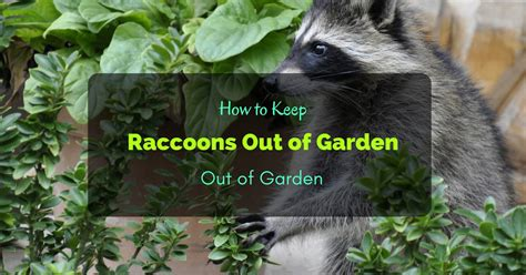how to keep raccoons out of garden 6 ways