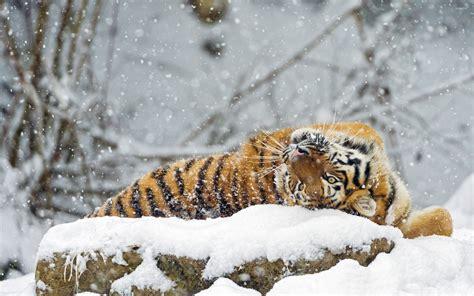 Snow Animal Wallpaper - tiger rolling in snow wallpaper animal wallpapers 33722