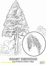 Coloring California State Tree Pine Drawing Printable Flag Washington Mission African Trees Cougars Drawings Getcolorings History Missions Getdrawings Popular Template sketch template