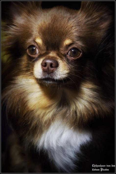 chihuahuabeautiful long haired chihuahuas pinterest