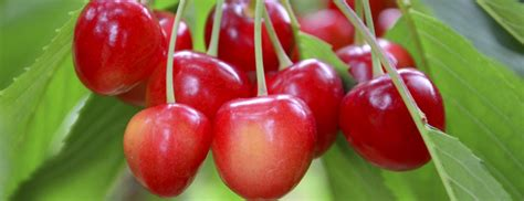 cherries types types of cherries berkeley wellness