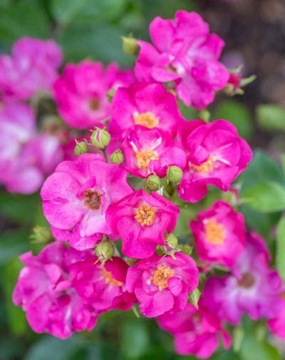 grape jelly root rosa climber grape jelly root regan
